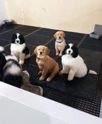 Puppies in pen